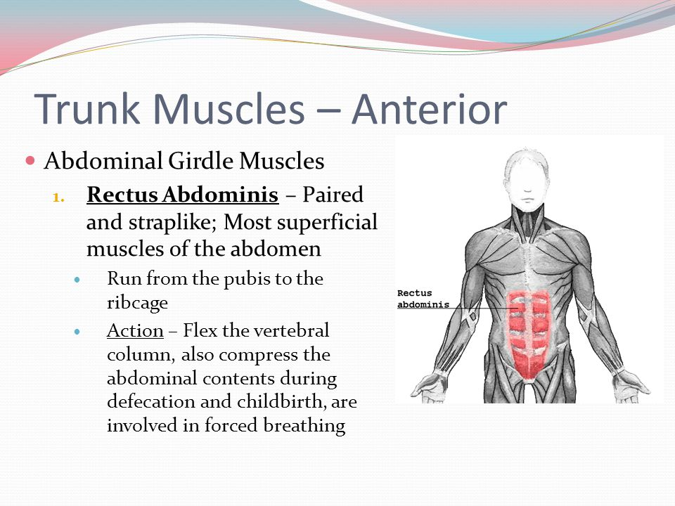 Trunk Muscles – Anterior
