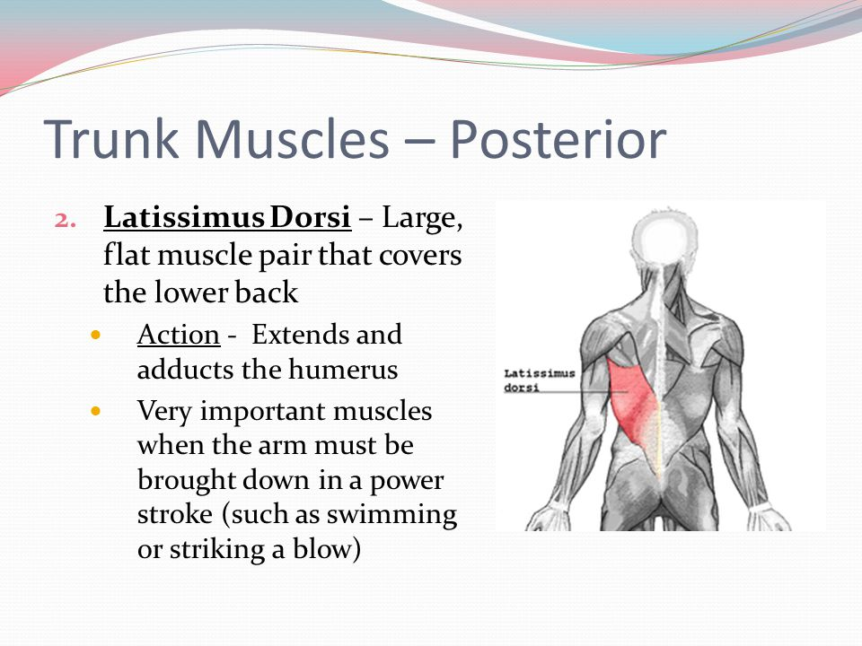 Trunk Muscles – Posterior