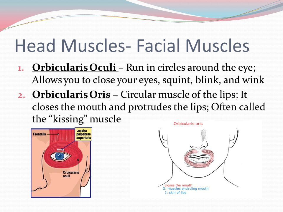 Head Muscles- Facial Muscles