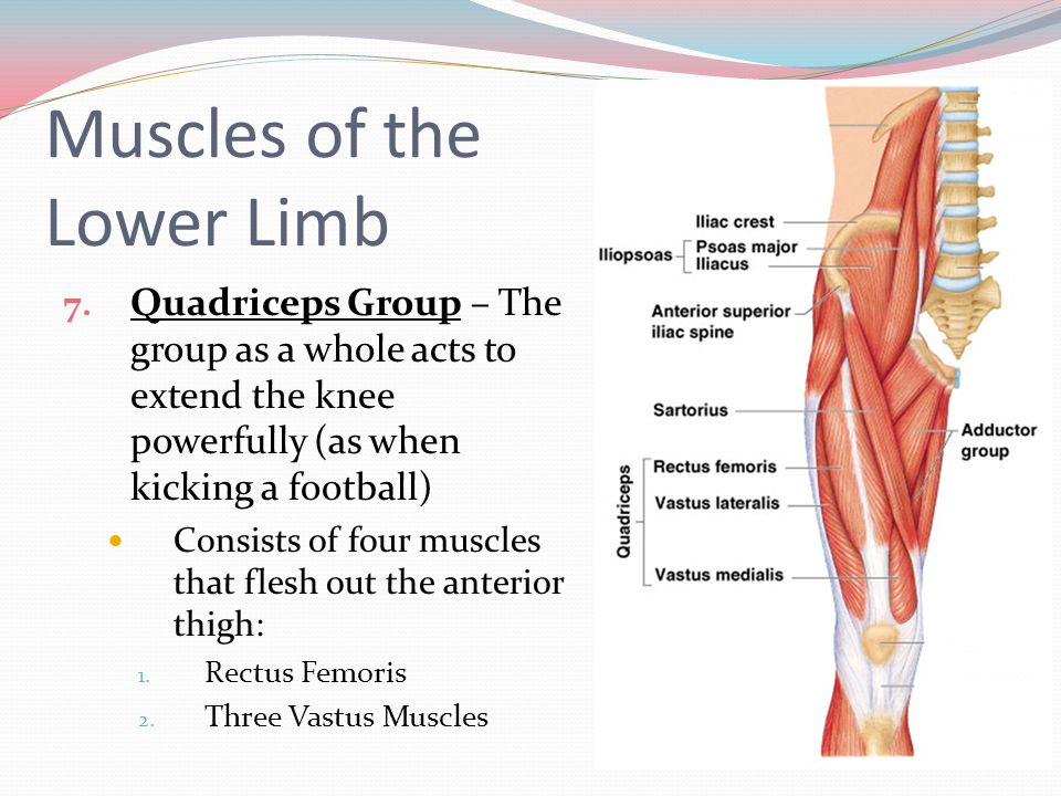 Muscles of the Lower Limb