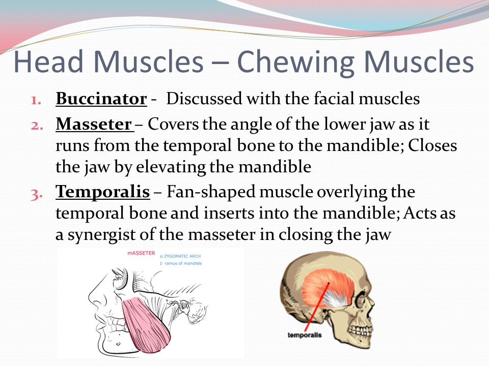 Head Muscles – Chewing Muscles