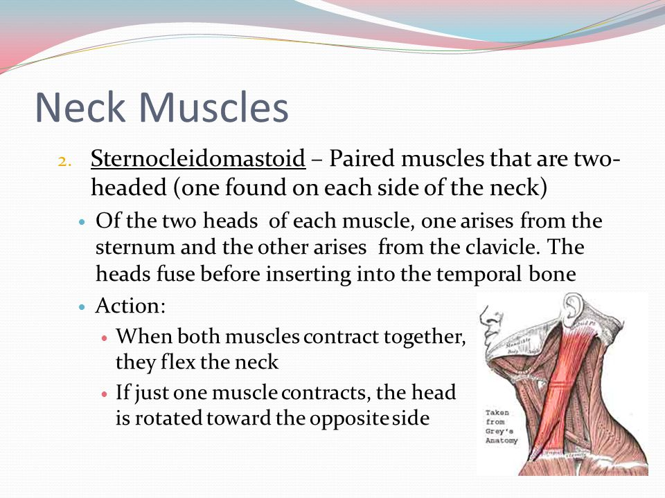 Neck Muscles Sternocleidomastoid – Paired muscles that are two-headed (one found on each side of the neck)