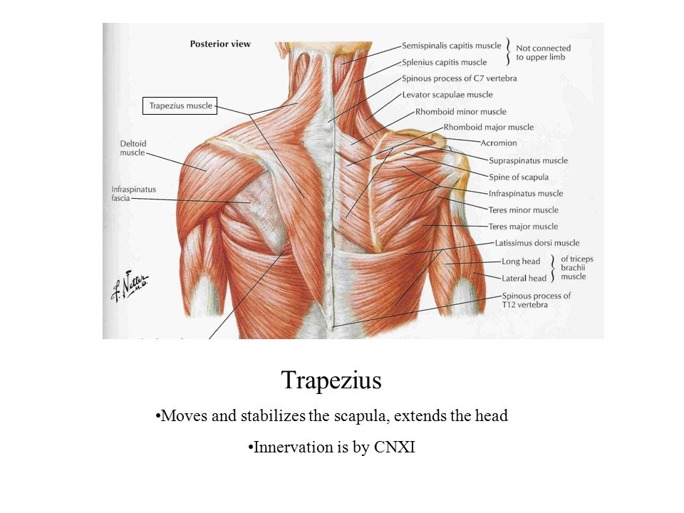 Moves and stabilizes the scapula, extends the head