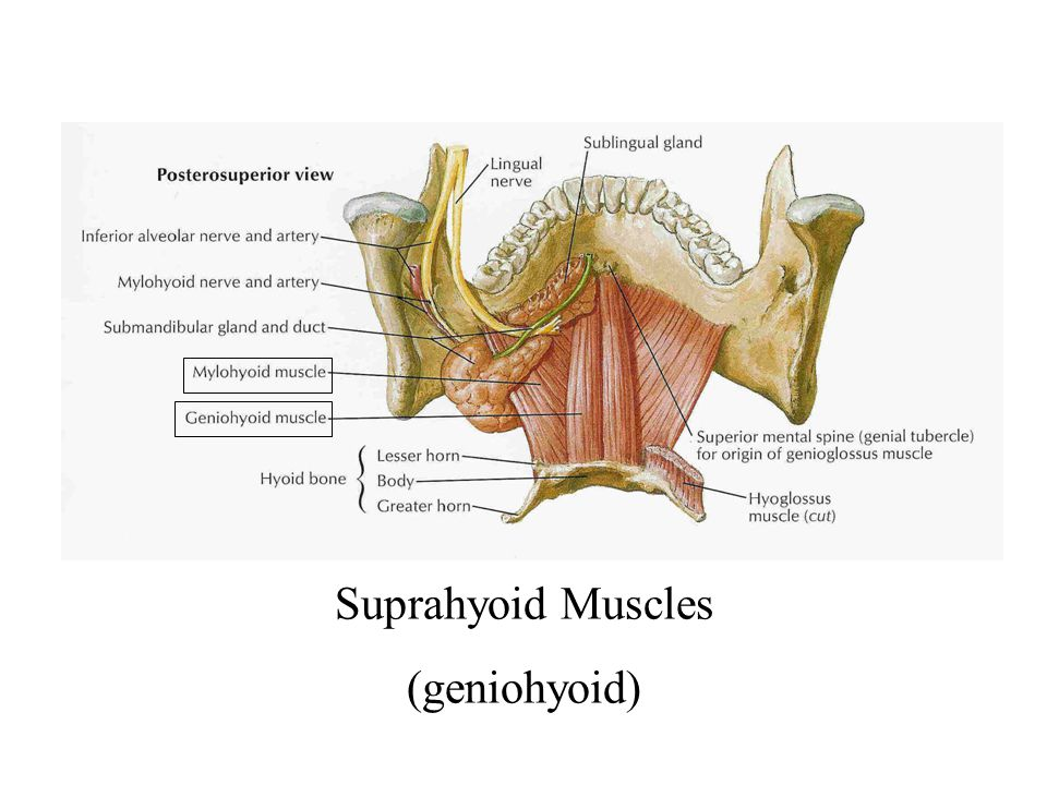 Suprahyoid Muscles (geniohyoid)
