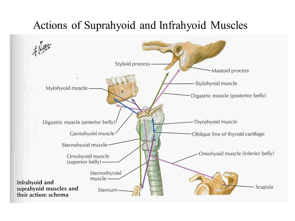 Actions of Suprahyoid and Infrahyoid Muscles