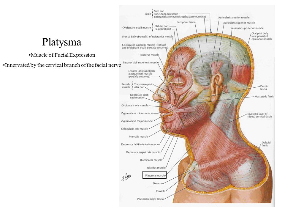 Platysma Muscle of Facial Expression