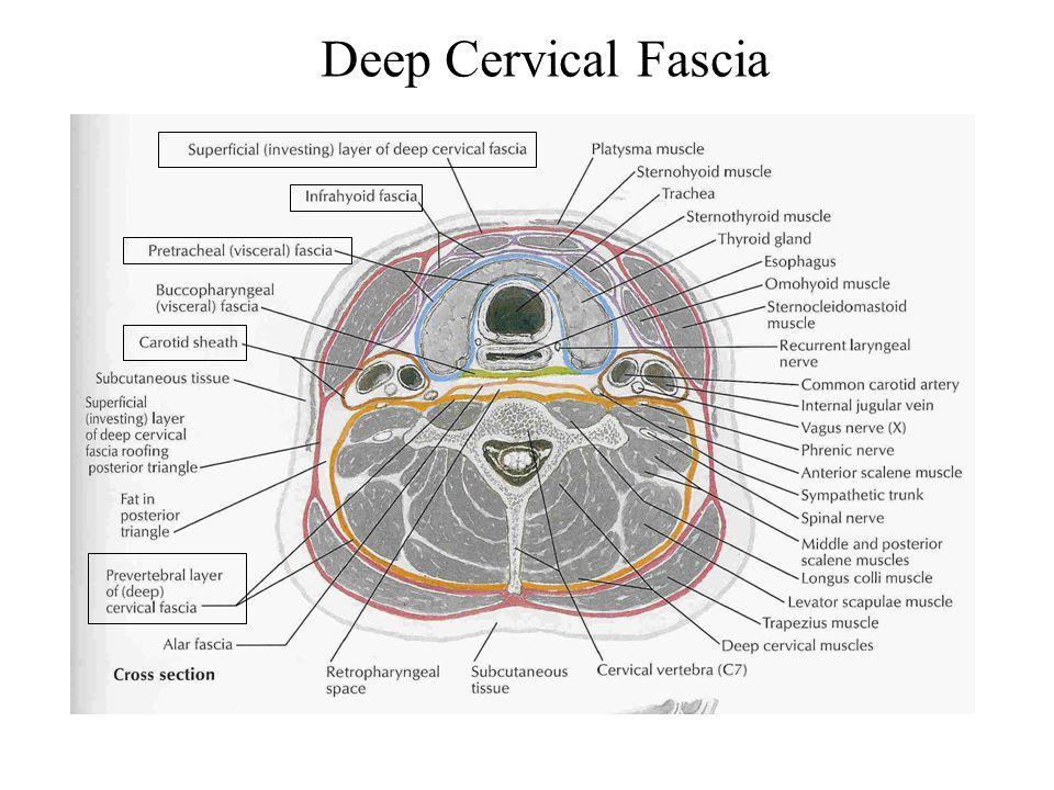 Deep Cervical Fascia