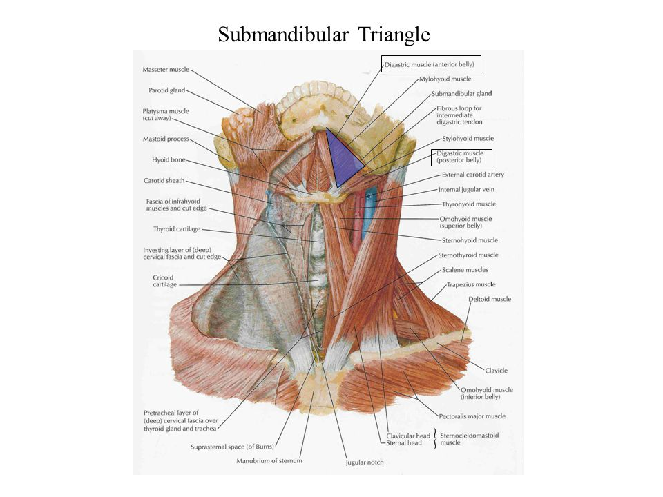 Submandibular Triangle