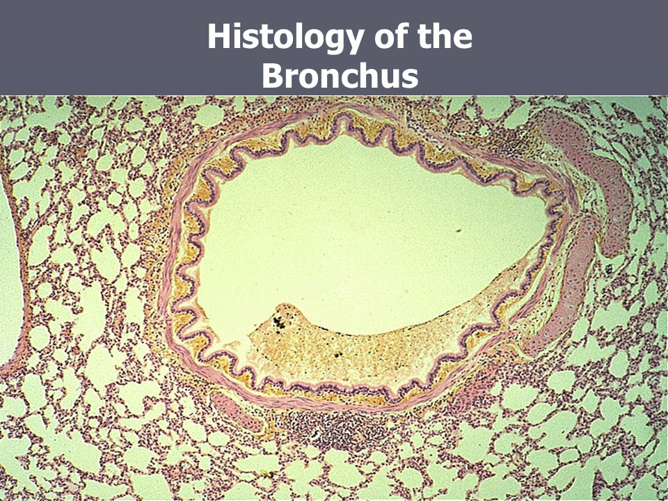 Histology of the Bronchus