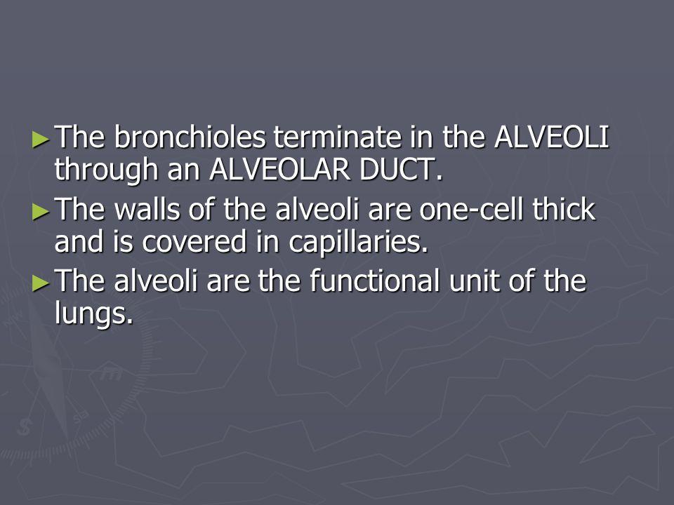 The bronchioles terminate in the ALVEOLI through an ALVEOLAR DUCT.