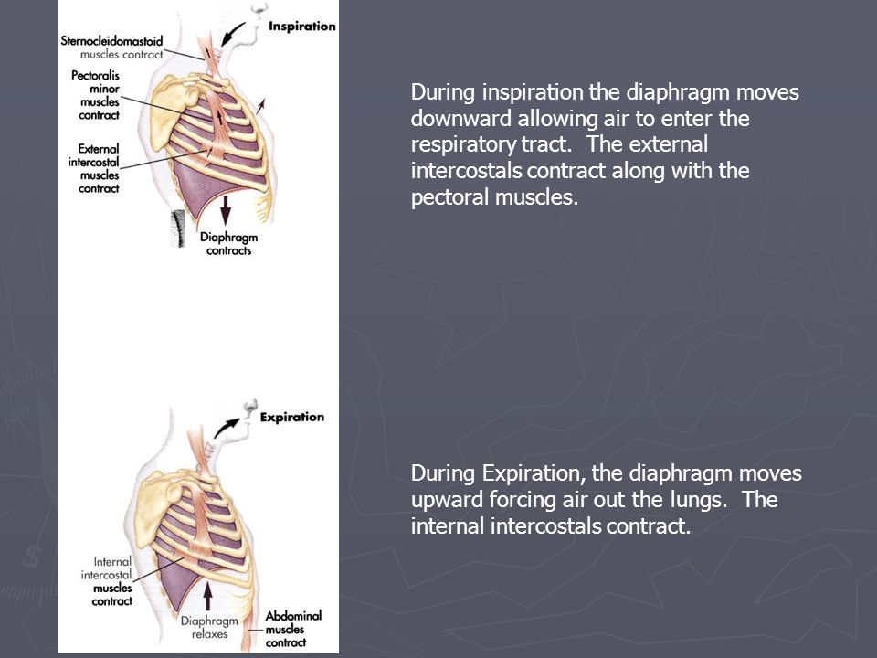 During inspiration the diaphragm moves downward allowing air to enter the respiratory tract. The external intercostals contract along with the pectoral muscles.