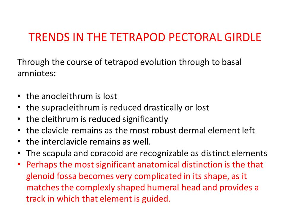 TRENDS IN THE TETRAPOD PECTORAL GIRDLE