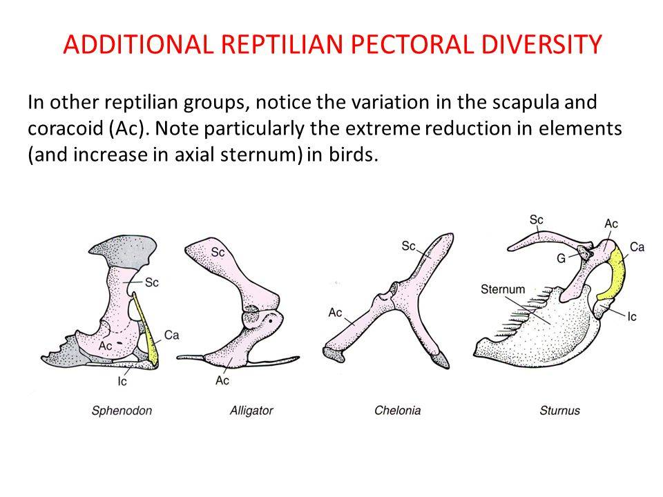 ADDITIONAL REPTILIAN PECTORAL DIVERSITY
