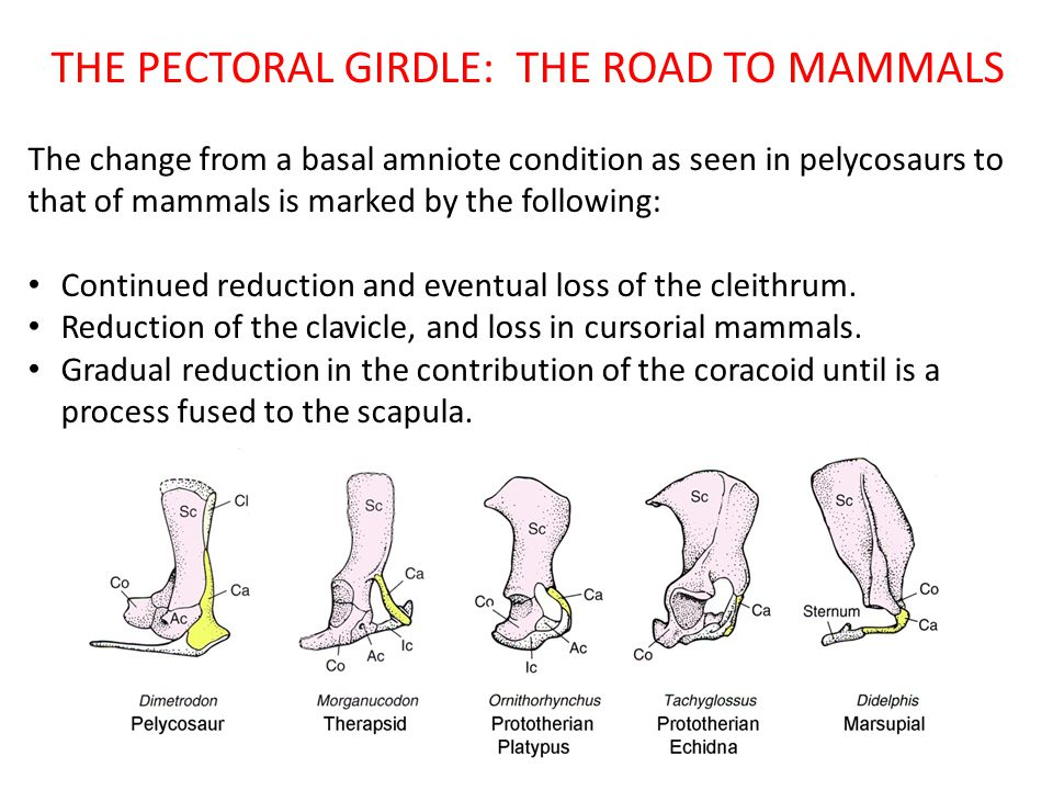 THE PECTORAL GIRDLE: THE ROAD TO MAMMALS