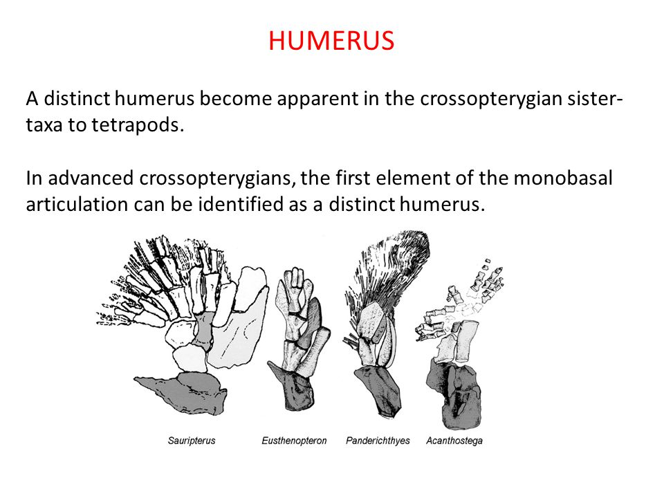 HUMERUS A distinct humerus become apparent in the crossopterygian sister-taxa to tetrapods.