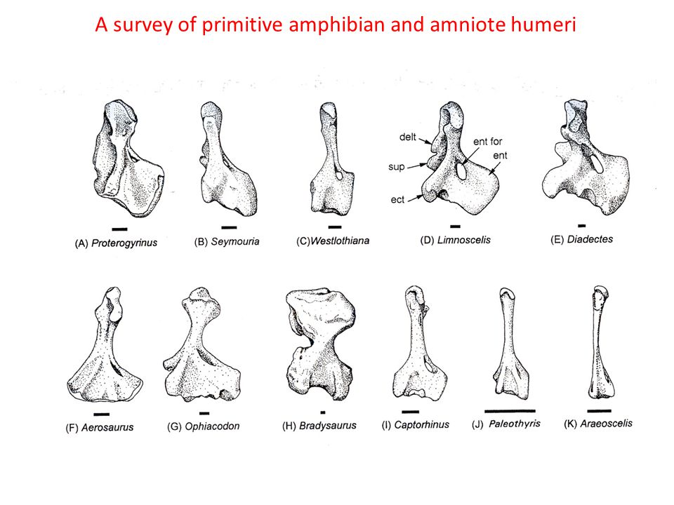 A survey of primitive amphibian and amniote humeri