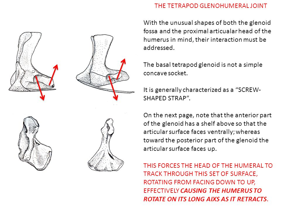 THE TETRAPOD GLENOHUMERAL JOINT