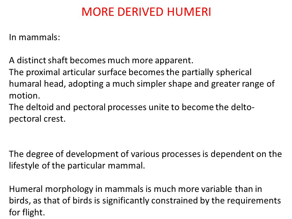 MORE DERIVED HUMERI In mammals: