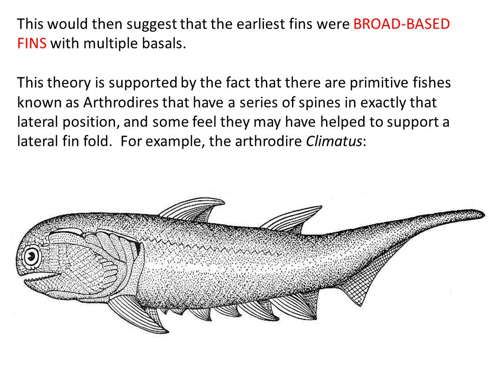 This would then suggest that the earliest fins were BROAD-BASED FINS with multiple basals.