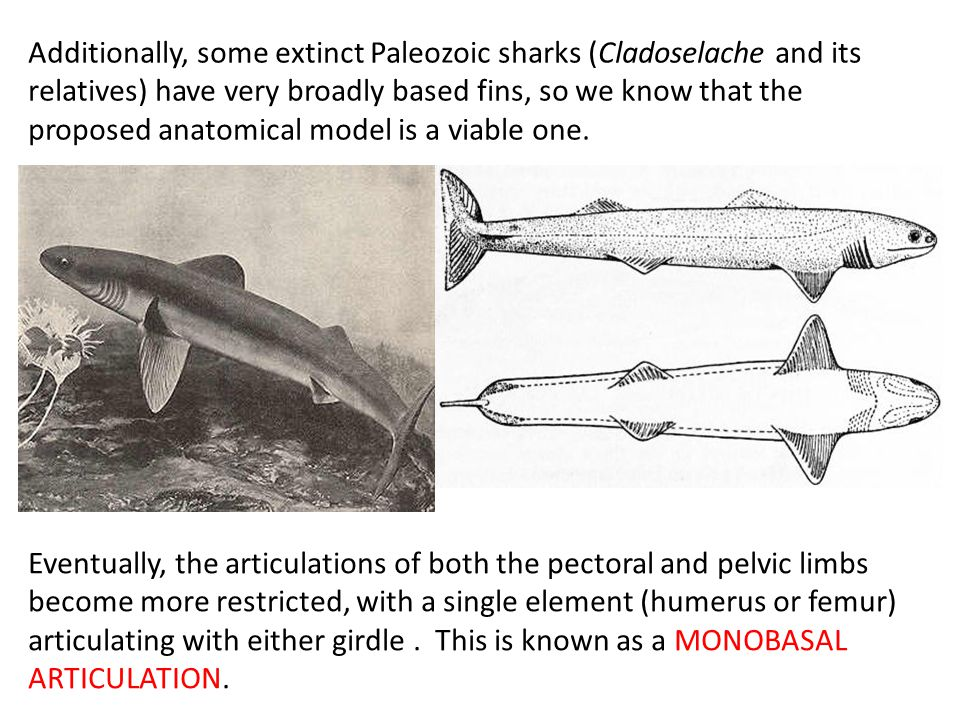 Additionally, some extinct Paleozoic sharks (Cladoselache and its relatives) have very broadly based fins, so we know that the proposed anatomical model is a viable one.