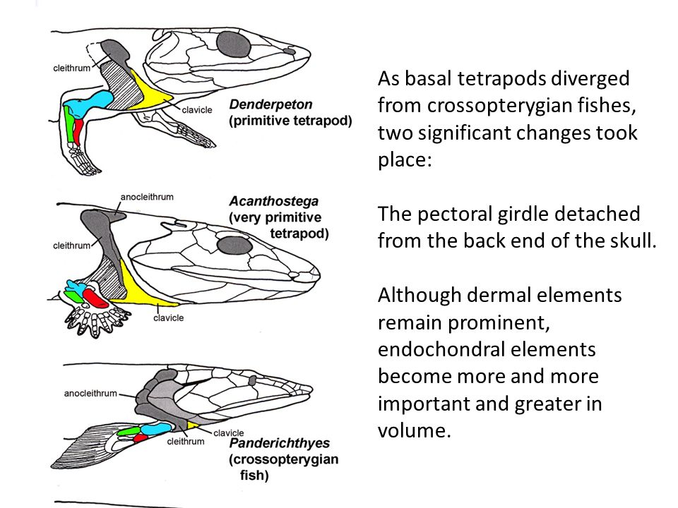 As basal tetrapods diverged from crossopterygian fishes, two significant changes took place: