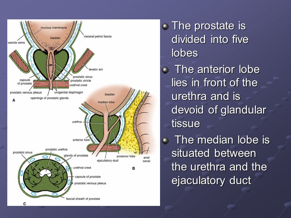 The prostate is divided into five lobes