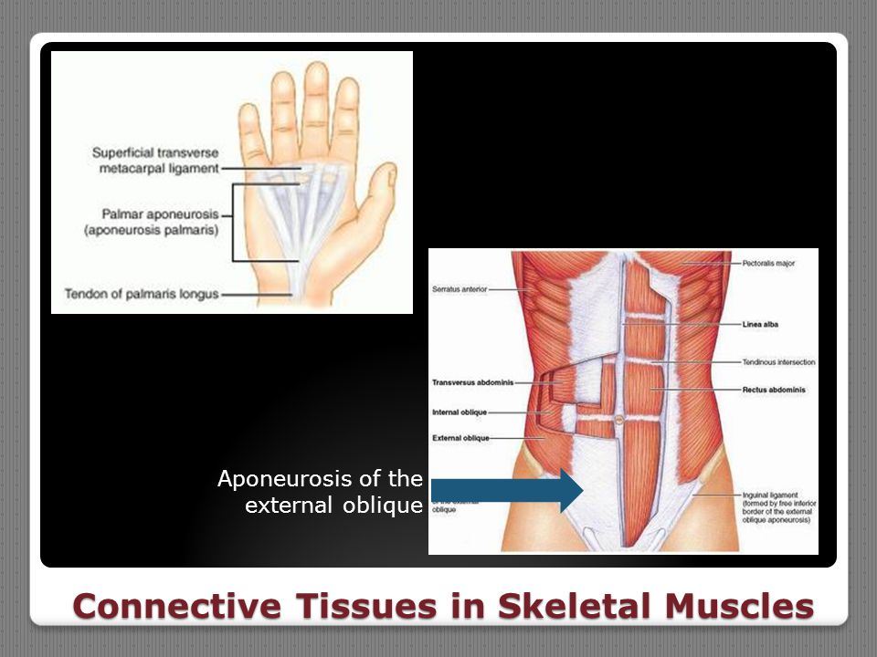Connective Tissues in Skeletal Muscles