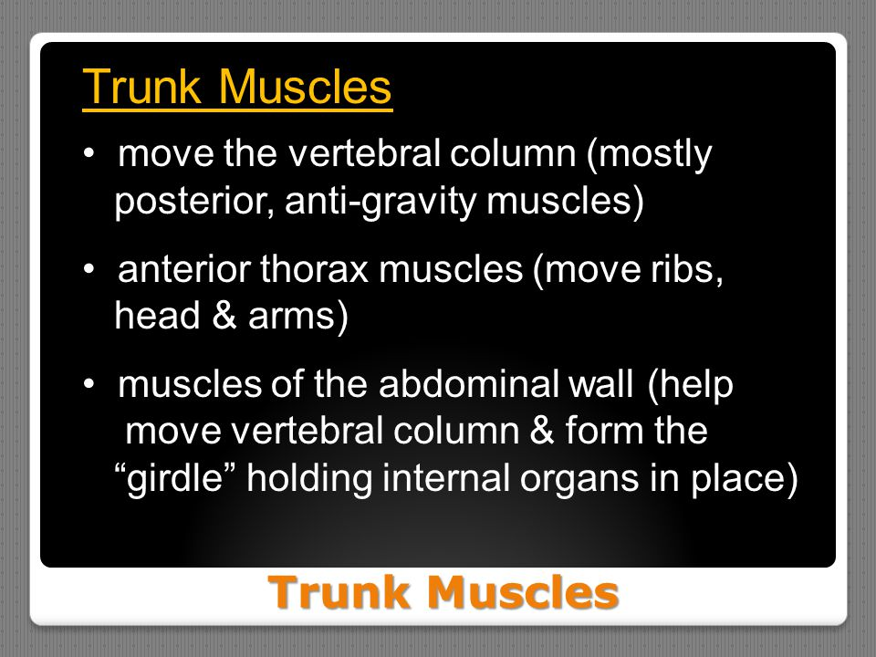 Trunk Muscles Trunk Muscles move the vertebral column (mostly