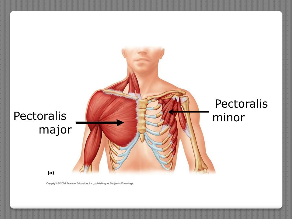 Pectoralis minor Pectoralis major