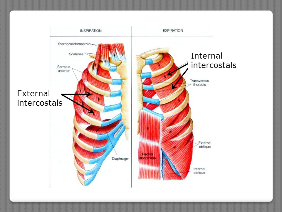 Internal intercostals External intercostals