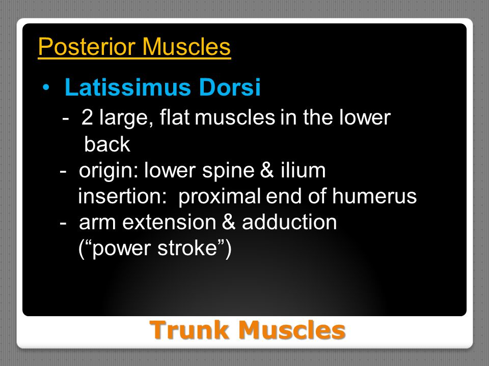 - 2 large, flat muscles in the lower