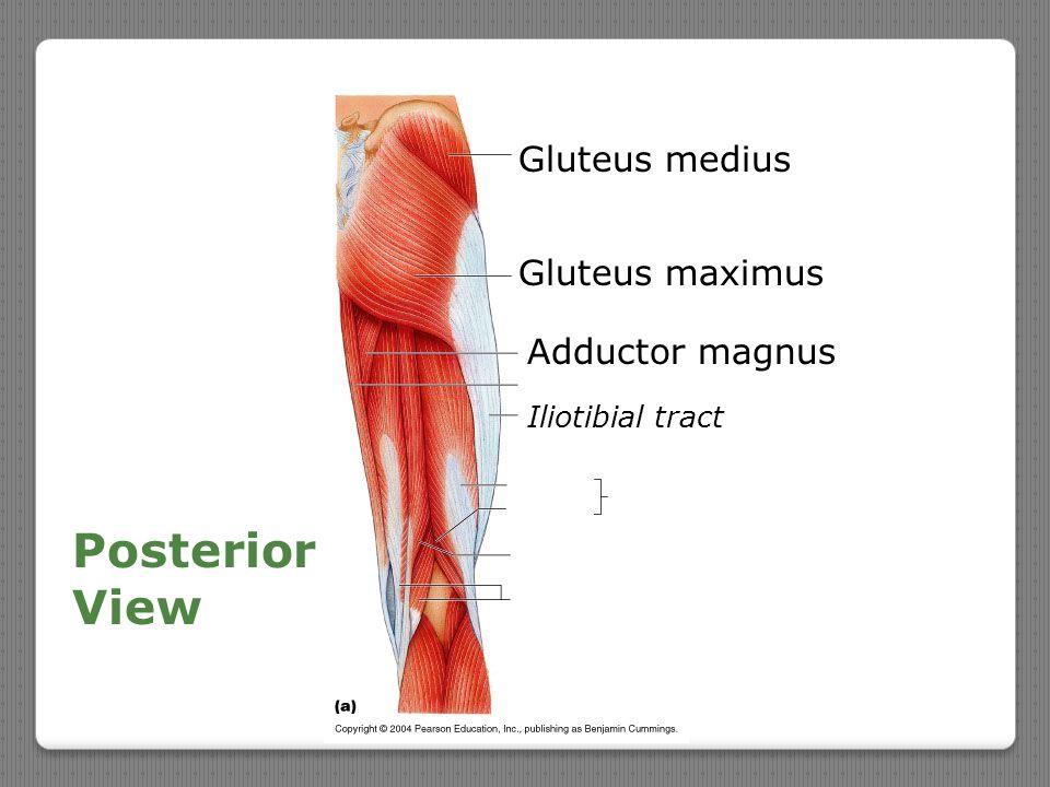 Posterior View Gluteus medius Gluteus maximus Adductor magnus