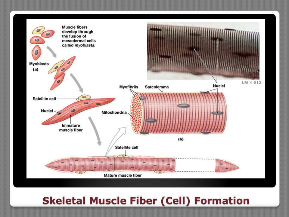 Skeletal Muscle Fiber (Cell) Formation