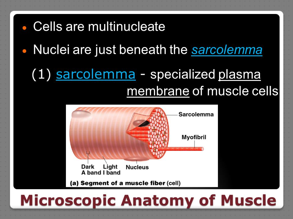 Microscopic Anatomy of Muscle