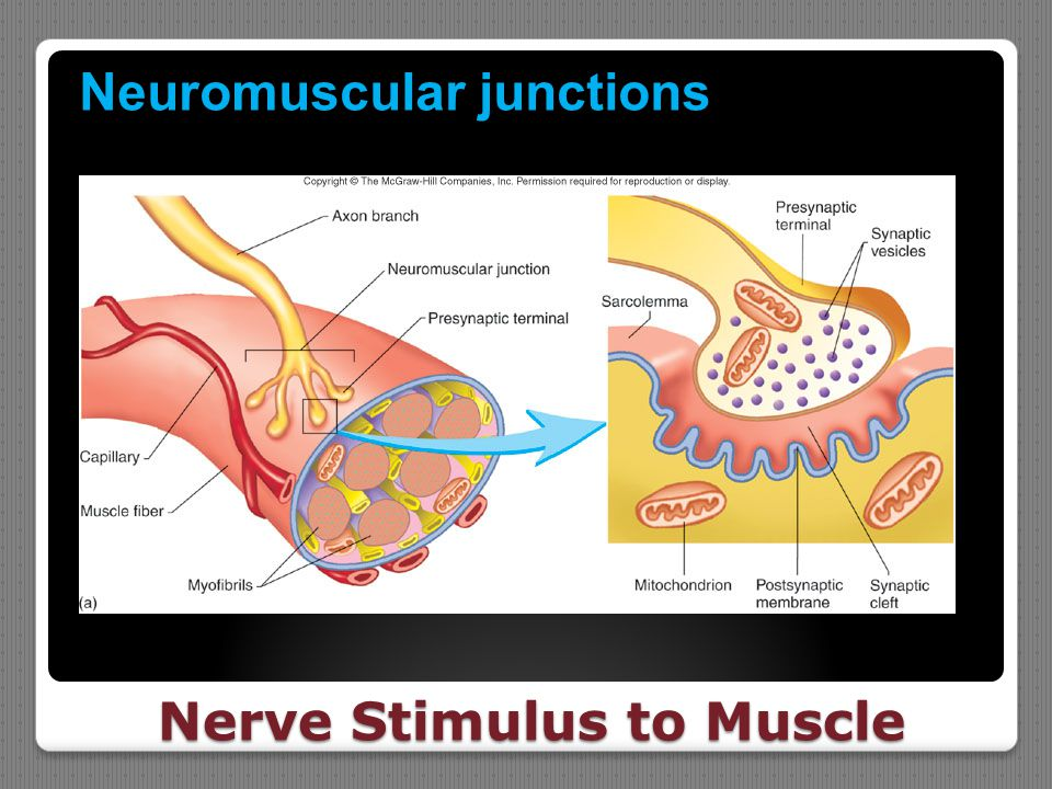 Nerve Stimulus to Muscle