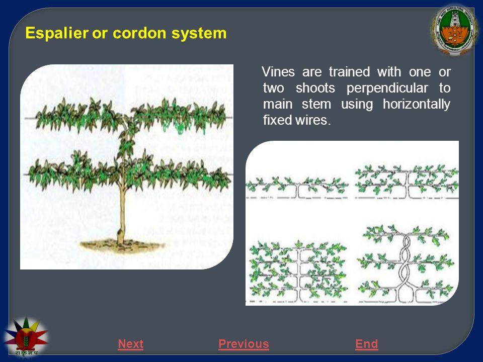 Espalier or cordon system