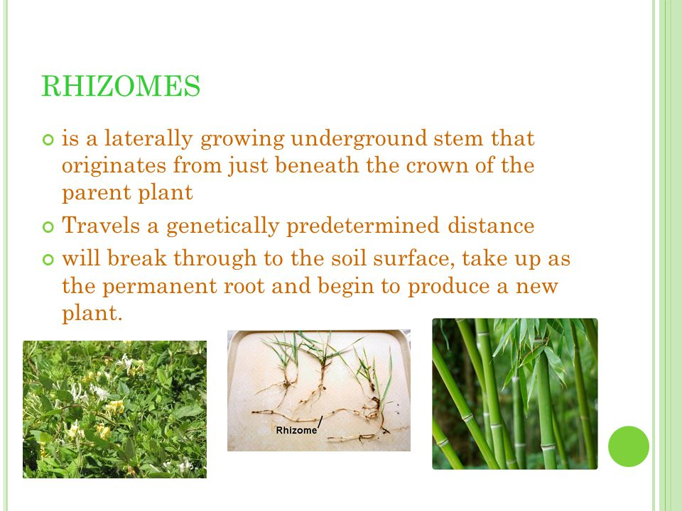 RHIZOMES is a laterally growing underground stem that originates from just beneath the crown of the parent plant.