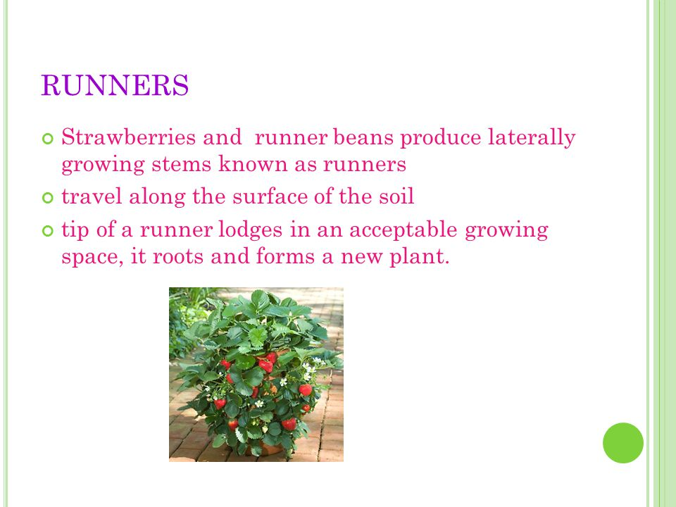 RUNNERS Strawberries and runner beans produce laterally growing stems known as runners. travel along the surface of the soil.