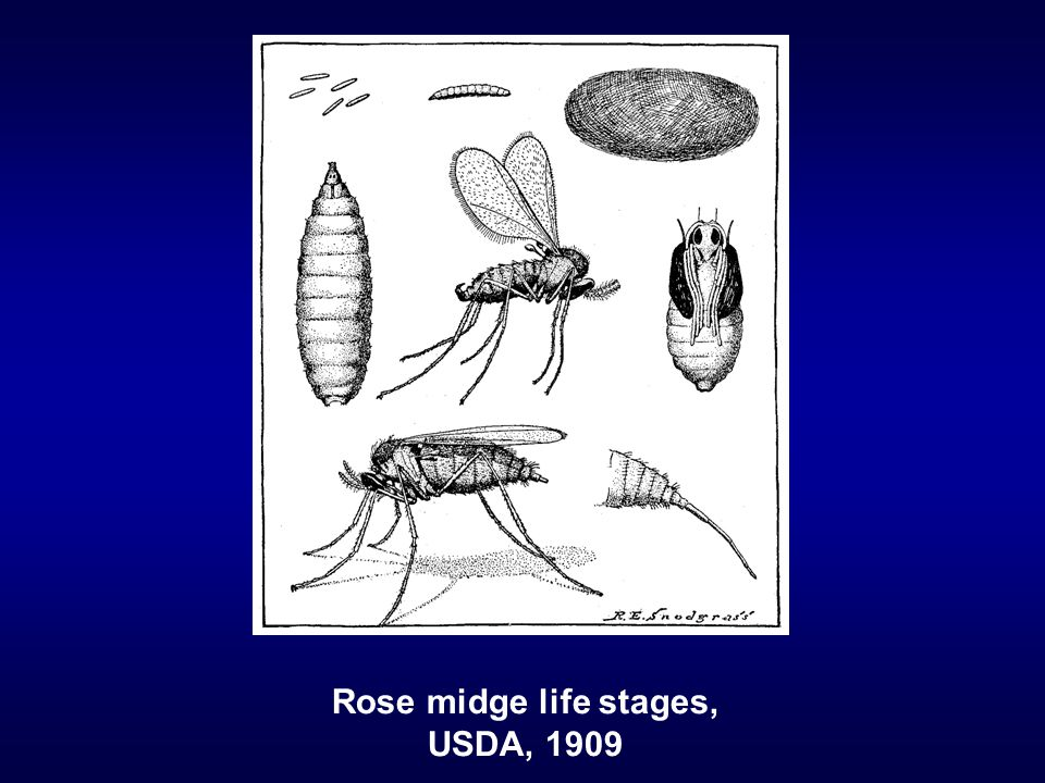 Rose midge life stages, USDA, 1909
