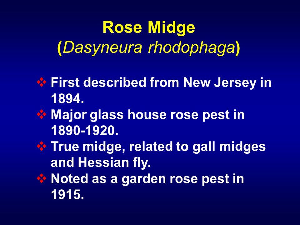 (Dasyneura rhodophaga)