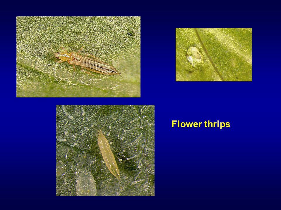 Flower thrips