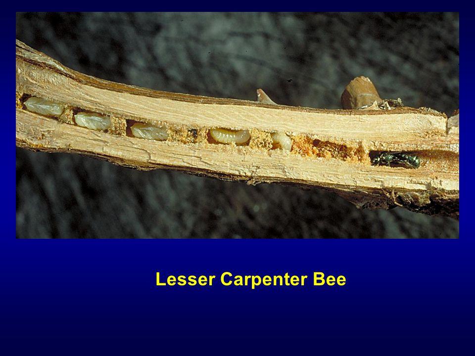 Lesser Carpenter Bee