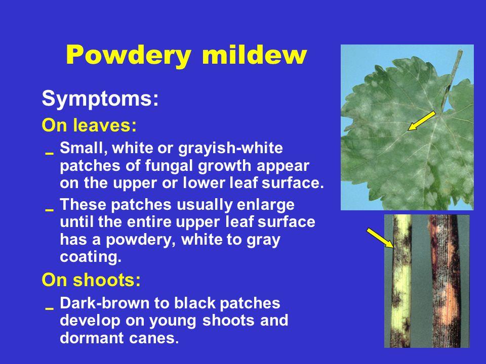 Powdery mildew Symptoms: On leaves: On shoots: