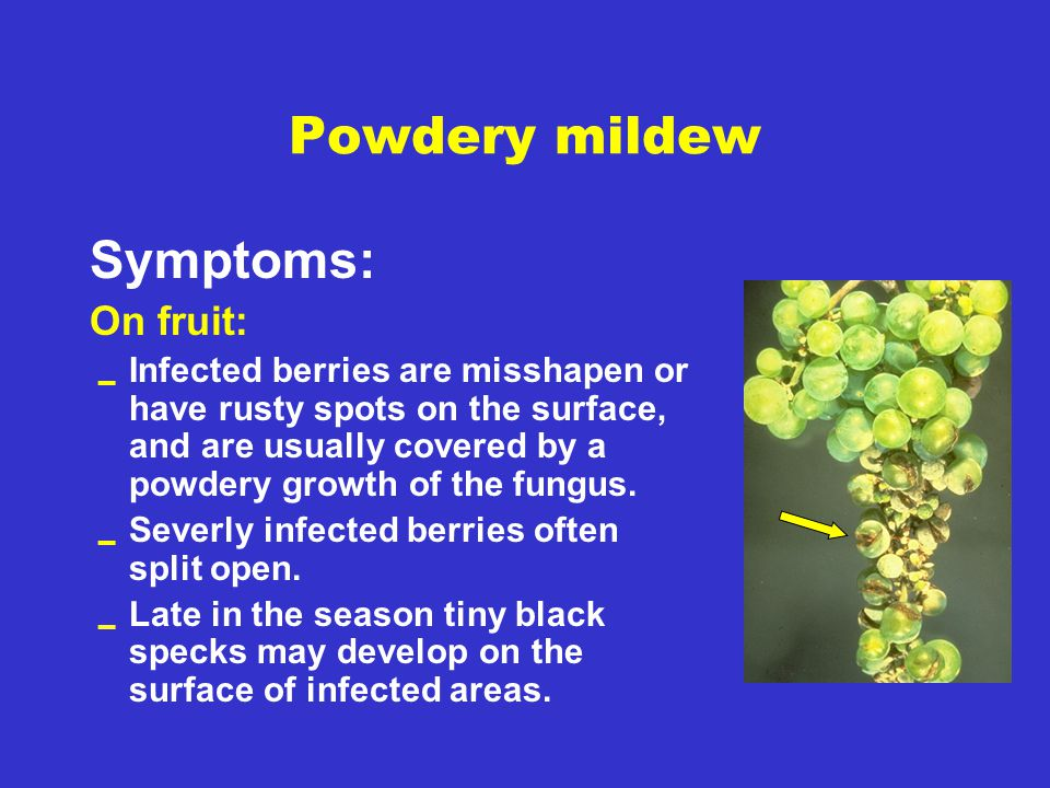 Powdery mildew Symptoms: On fruit: