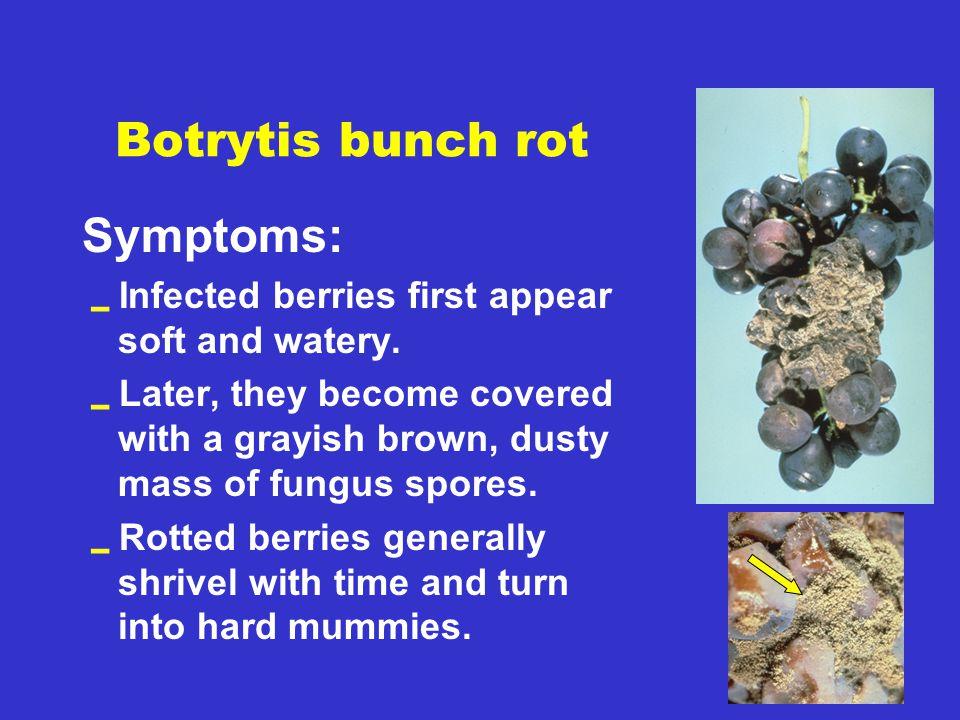 Botrytis bunch rot Symptoms: