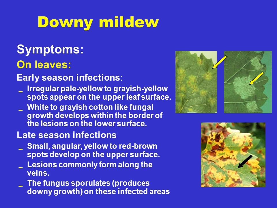 Downy mildew Symptoms: On leaves: Early season infections: