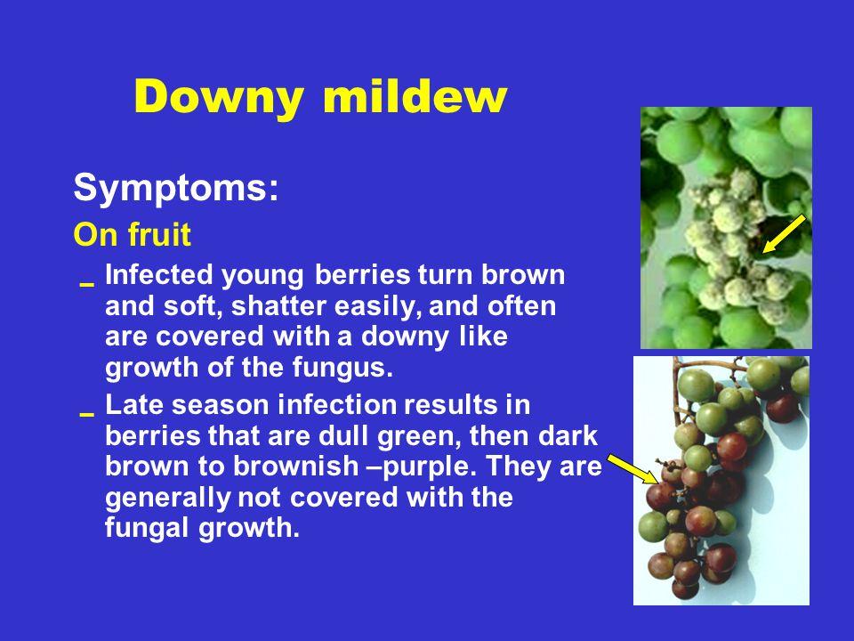 Downy mildew Symptoms: On fruit