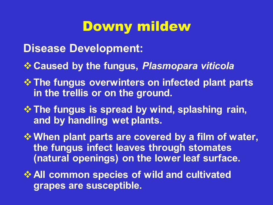 Downy mildew Disease Development: