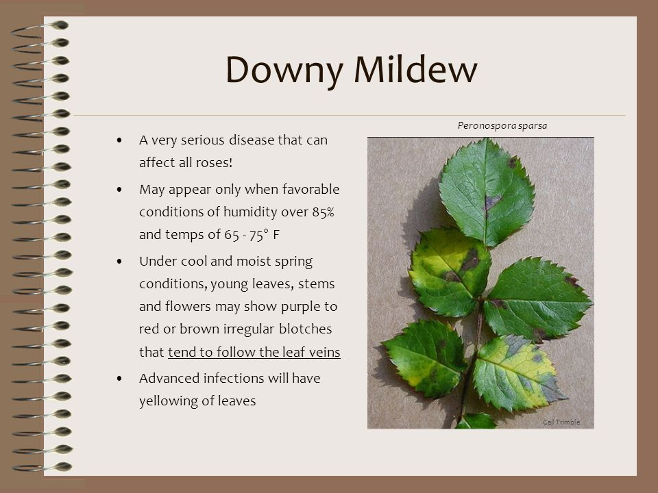 Downy Mildew A very serious disease that can affect all roses!