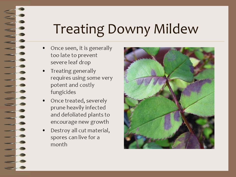 Treating Downy Mildew Once seen, it is generally too late to prevent severe leaf drop.